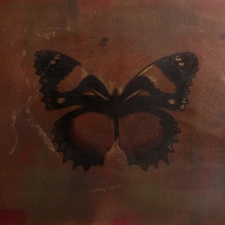 Bunny Moth